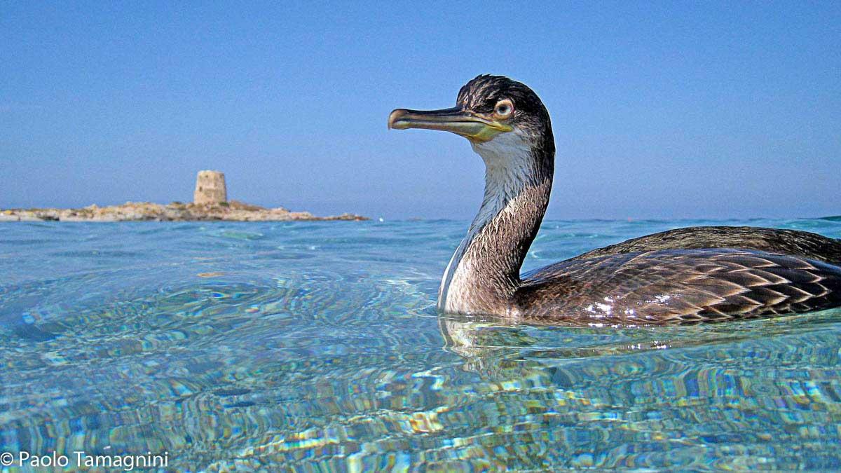 Primo piano di un uccello acquatico (Marangone dal ciuffo) a pelo dell'acqua, sullo sfondo Torre Barì - Foto di Paolo Tamagnini