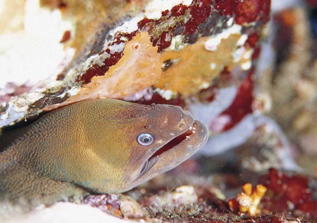 Villasimius, Area Marina Protetta, la rara murena nera nei fondali dell'Isola dei Cavoli, foto subacquea di Luca Tamagnini