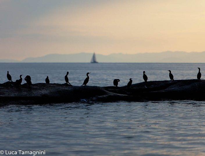 Uccelli-acquatici-(marangoni-dal-ciuffo)-sugli-scogli-di-Cala-Caterina-foto-di-Luca-Tamagnini