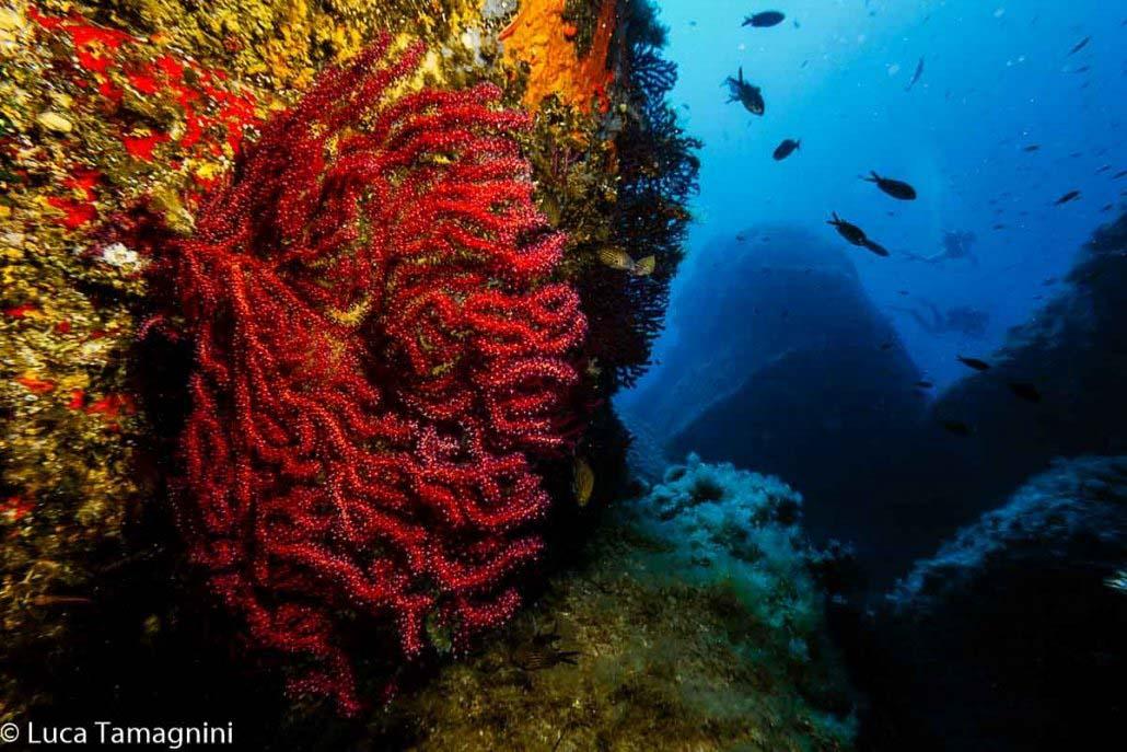 Villasimius, Area Marina Protetta, Secca dei Dotti, gorgonia rossa, foto subacquea di Luca Tamagnini