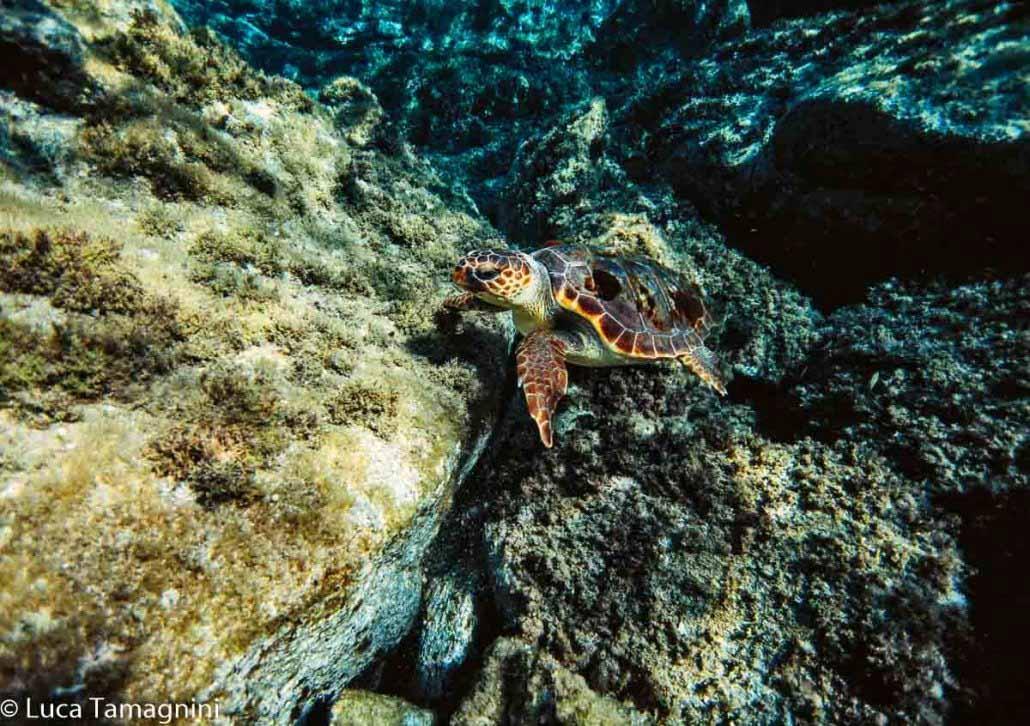 Villasimius, Area Marina Protetta, una tartaruga marina (Caretta caretta) nei fondali di Serpentara, foto subacquea di Luca Tamagnini