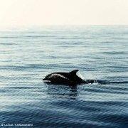 Foto Mare Sicilia. Isole, Eolie Delfino Tursiope