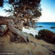 Villasimius Porto Sa Ruxi ginepro sullo sfondo la spiaggia e il mare