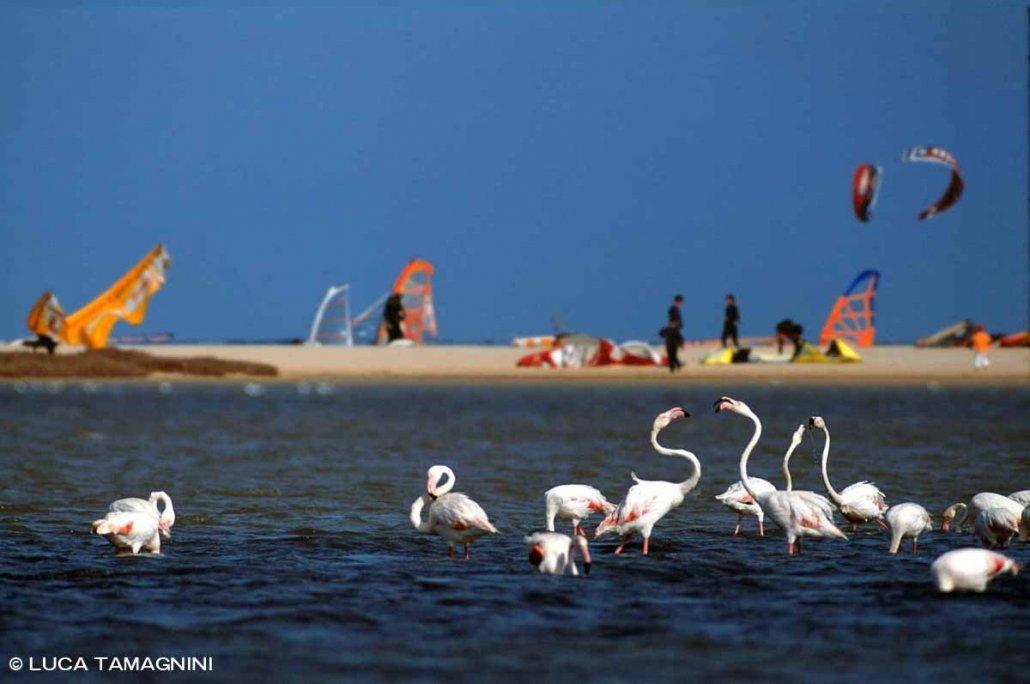 Sardegna, Villasimius fenicotteri nello Stagno di Notteri kite surf