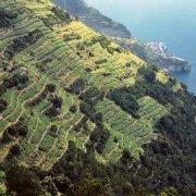 Cinque Terre, terrazzamenti di vigne sullo sfondo Manarola
