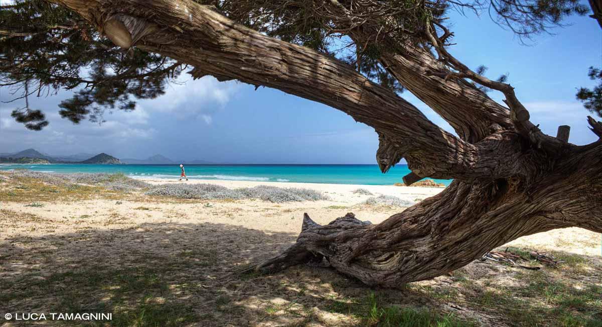 Sardegna, Costa Rei Cala Sinzias sullo sfondo il mare, la spiaggia e un tronco di albero tamerice in primo piano