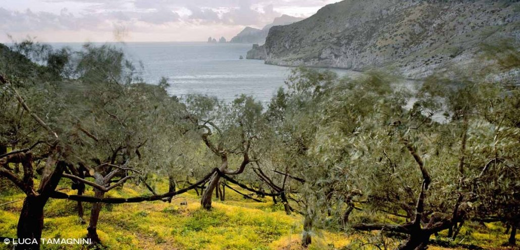 Baia di Ieranto uliveto del FAI sullo sfondo il mare e i Faraglioni di Capri