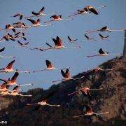 Sardegna, Villasimius, Stagno di Notteri, fenicotteri in volo sullo sfondo la Torre di Porto Giunco
