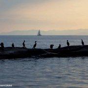 Sardegna, Villasimius scogli di Cala Caterina con uccelli marini (marangone dal ciuffo)