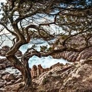 Sardegna, Costa Paradiso, Tinnari ginepro sul mare / Luca Tamagnini Catalogo 2009-006