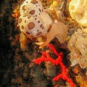 Foto Alghero / Area Marina Protetta di Capo Caccia - Isola Piana / Foto Subacquee di Luca Tamagnini Fuori Catalogo / Grotta di Nereo corallo rosso con nudibranchi