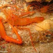 Foto Alghero / Area Marina Protetta di Capo Caccia - Isola Piana / Foto Subacquee di Luca Tamagnini Fuori Catalogo / gambero meccanico
